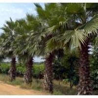 漳州棕榈科科*大生产基地/福建华盛顿棕榈出售