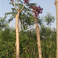 8公分红叶椿最新价格——红叶椿特点及发展优势