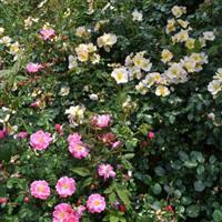 批發藤本月季薔薇花庭院花卉薔薇價格