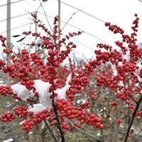 10公分欧洲红果冬青 苏格兰金链 超级红千层