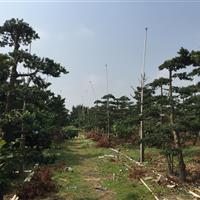造型罗汉松景观树直树绿化树