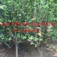 供應海棠西府海棠3-8公分木瓜海棠貼梗海棠北美海棠