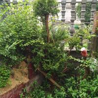 江西九江征地赤楠盆景桩