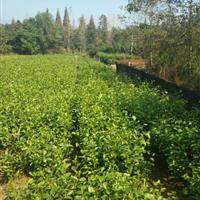 批發一年生江南榿木小苗、高50公分以上、價格0.46元