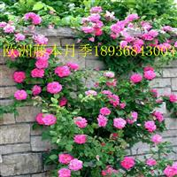 欧洲藤本月季行情 欧洲藤本月季与蔷薇花的区别