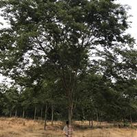 17-19公分榉树供应