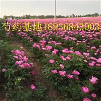 芍药苗价格 芍药苗种植方法及简介 苗圃直销芍药苗