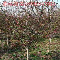 垂丝海棠价格 垂丝海棠种植方法及简介 苗圃直销垂丝海棠