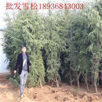 雪松行情 雪松種植方法及簡介 苗圃直銷雪松樹