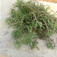 佛甲草价格 房顶绿化用佛甲草 佛甲草种植方法简介