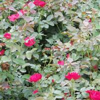 红帽月季价格 红帽月季繁殖方法介绍 苗圃直销红帽月季