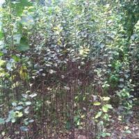 药用木瓜苗价格 木瓜苗种植方法简介 苗圃直销木瓜苗
