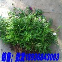 石竹草苗价格 石竹草繁殖方法简介 苗圃直销石竹草苗