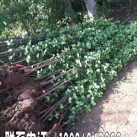 北海道黄杨价格 北海道黄杨种植方法简介 苗圃直销北海道黄杨苗