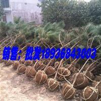 黑松苗价格 黑松种植方法简介 苗圃直销黑松树