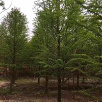 供应各种规格落羽杉、墨西哥落羽杉、东方杉、池杉、中山杉