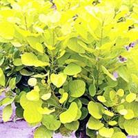 金叶黄栌(欧洲花叶木槿 欧洲四季红杜鹃)采购价
