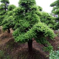 湖南精品红花继木桩价格+精品造型小叶女贞+多杆造型赤楠景观树