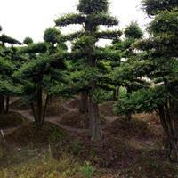浏阳直销全国市政单位造型花木:造型红继木树 造型赤楠 榆树