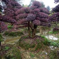 全国市政绿化+企业景观造型花木 苗木造型红继木 造型赤楠