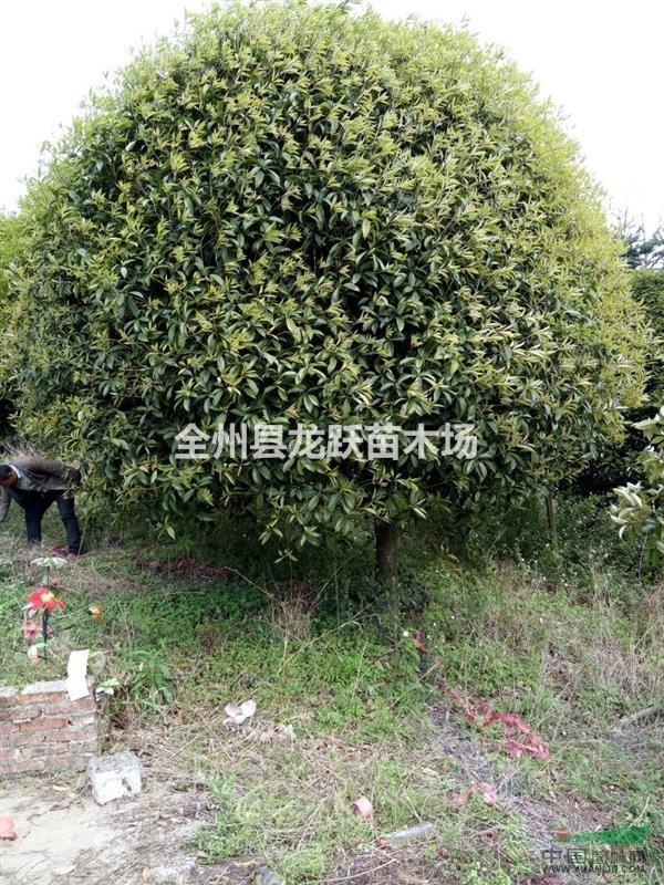 全州县龙跃苗木场
