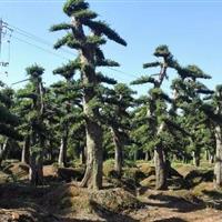 苗圃征收打包处理,大量造型椤木石楠,榆树,罗汉松