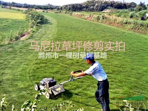 滁州市一棵树草坪基地