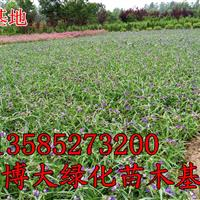 紫露草价格-常年直销紫露草价格优惠,江苏紫露草基地,红花草