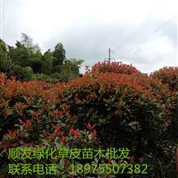 湖南郴州红叶石楠球,红叶石楠苗,低价红叶石楠球直销