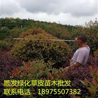 湖南红叶石楠球,郴州红叶石楠苗,低价红叶石楠球批发