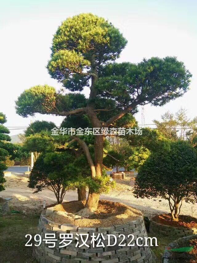 进口罗海松_金华市金东区绿森苗木场_中国园林网