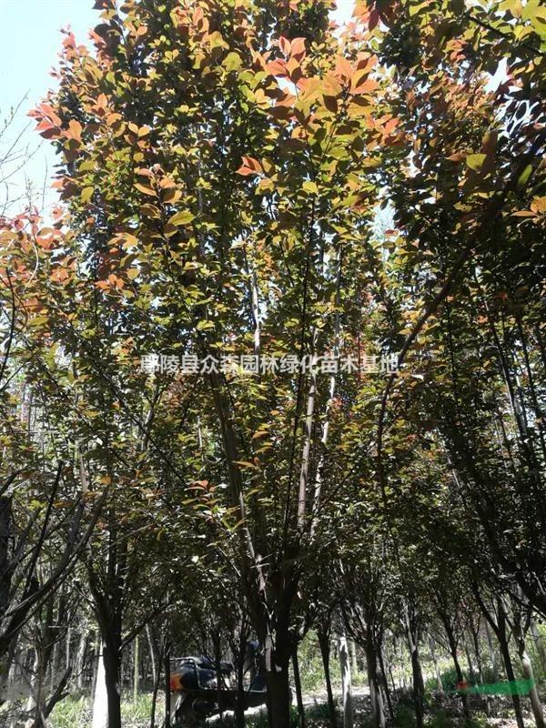 鄢陵县众森园林绿化苗木基地