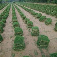 狗牙跟草坪/百慕大草皮成活率高/江苏草坪
