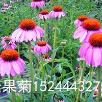 松果菊价格