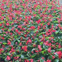 四季海棠价格