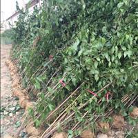 供应腊梅丛生腊梅1米以上高多分支腊梅