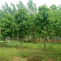 江苏供应各种规格楸树,质量优,价格低。