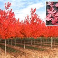 江苏沭阳美国红枫3公分4公分5公分8公分10公分价格