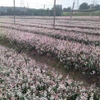 杭州供应大量花叶络石 质量好
