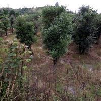 浏阳批发高档景观树桩 15公分乌饭树桩 嫁接蓝莓 赤楠造型树