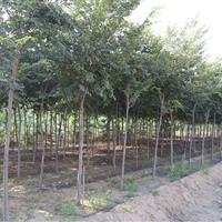 榉树、山东榉树基地、榉树苗木苗圃、淄博榉树、榉树批发、凯创