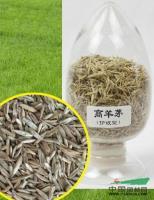 江苏琥珀高羊茅种子介绍