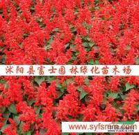 江苏矮串红种子信息
