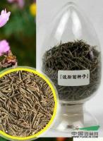 江苏波斯菊种子*新报价/波斯菊种子图片
