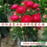 江苏翠菊种子