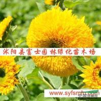 江苏观赏向日葵种子信息