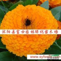 金盏菊种子供应/金盏菊种子图片