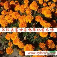 江苏孔雀草种子