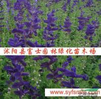 蓝花鼠尾草种子行情报价\蓝花鼠尾草种子图片展示