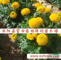 江苏万寿菊种子信息